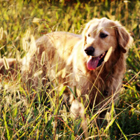 Golden Retriever in high grass